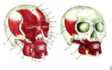 Facial muscles: 1) Galea aponeurotica, 2) Frontali