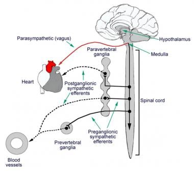 Sympathetic and parasympathetic efferents.