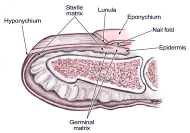 Nail bed anatomy.