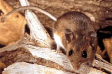 Peromyscus maniculatus - The deer mouse.
