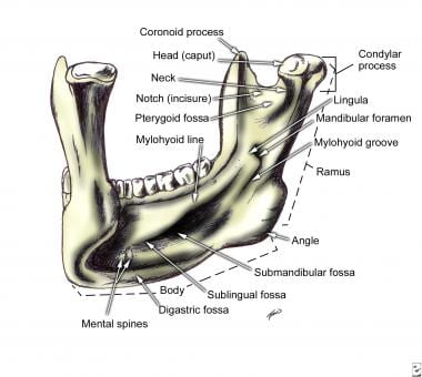Mandible, left posterior view.